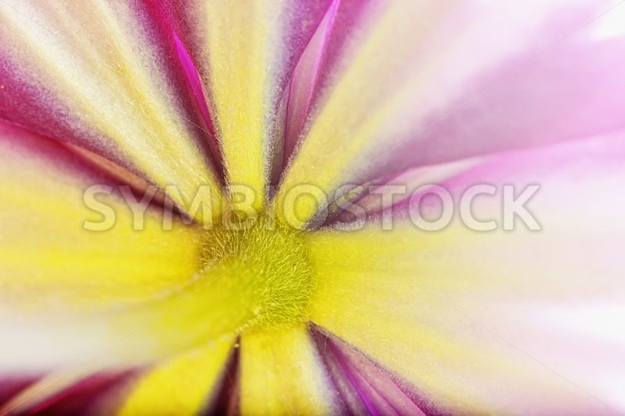 Colorful Clematis - Jan Brons Stock Images