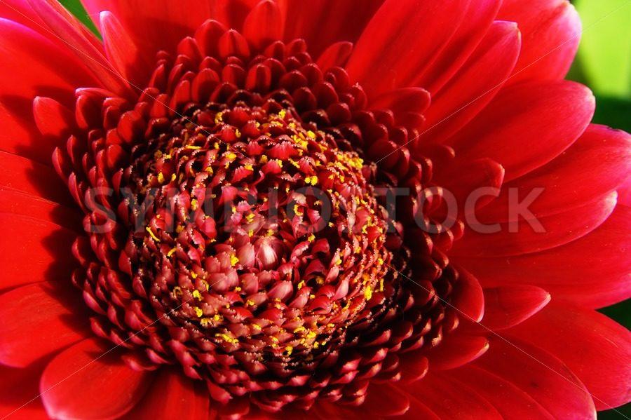 Red Gerbera - Jan Brons Stock Images