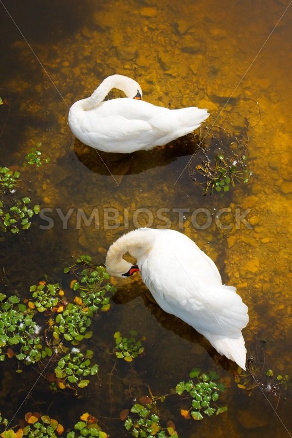 Two swans with sun reflection on water. - Jan Brons Stock Images