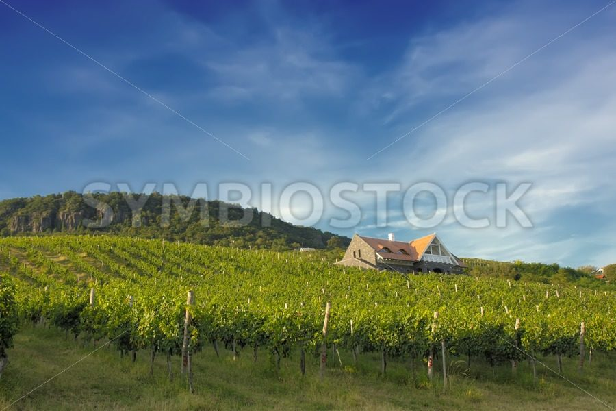Vineyard on sunny hill - Jan Brons Stock Images