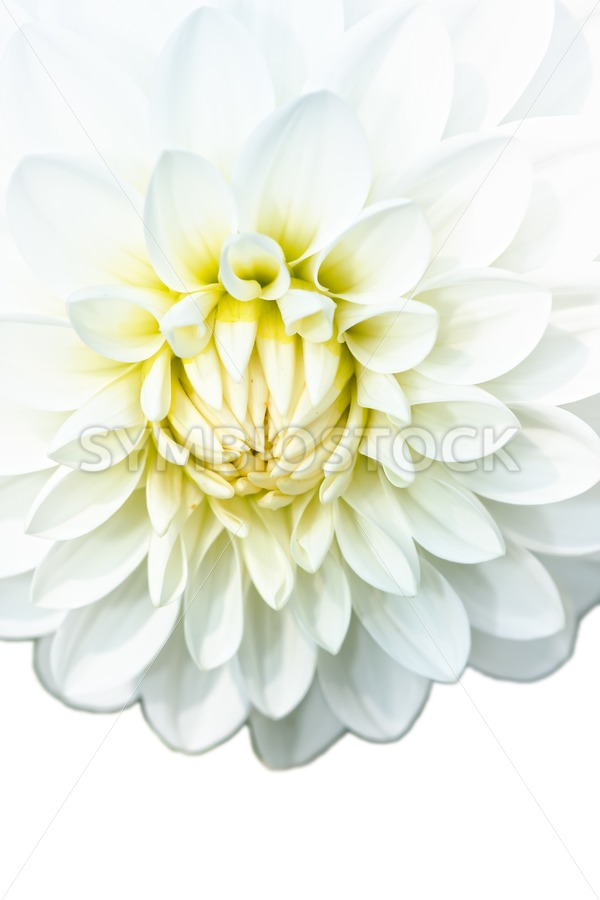 White Dahlia - Jan Brons Stock Images