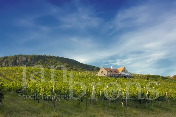 Vineyard on sunny hill