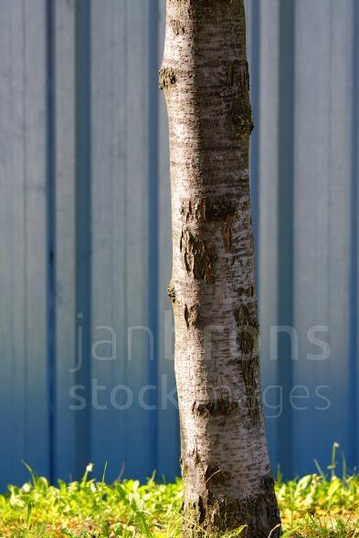 Steel sheet piling wall birch tree
